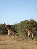 048 Giraffes Walking - McLaughlin
