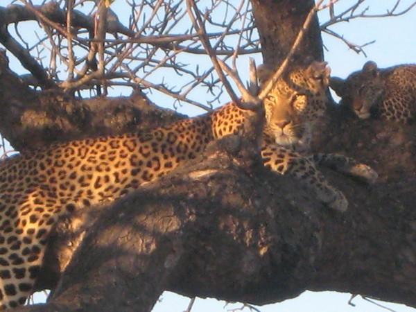 005 Lazy Leopards - Almi