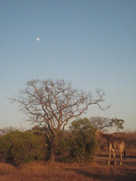 035 Giraffe under Full Moon - Laurie