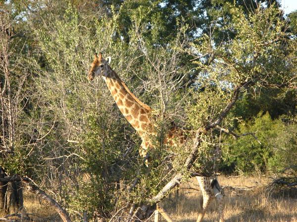 054 Shy Giraffe