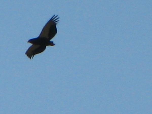 075 Bateleur Eagle in Flight