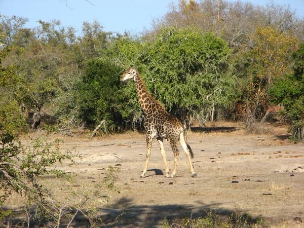 079 A Different Giraffe