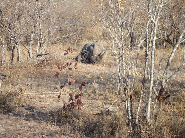 065 Rhino - McLaughlin