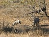 081 More Warthogs