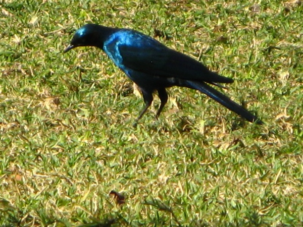 091 Burchell's Starling