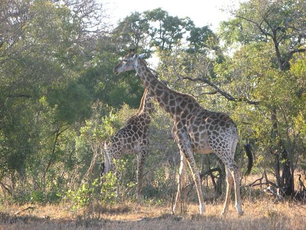 055 Posing Giraffes