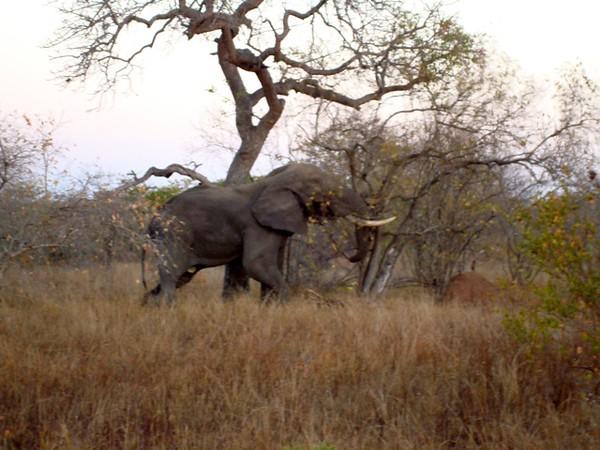 031 Elephant Right - McLaughlin