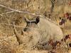 063 Rhino Profile