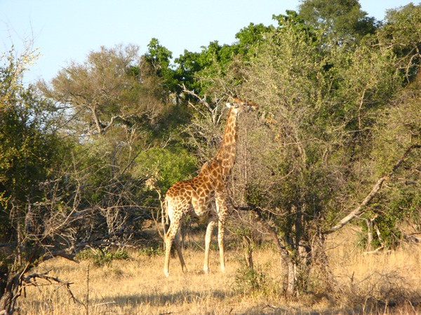 051 Handsome Giraffe