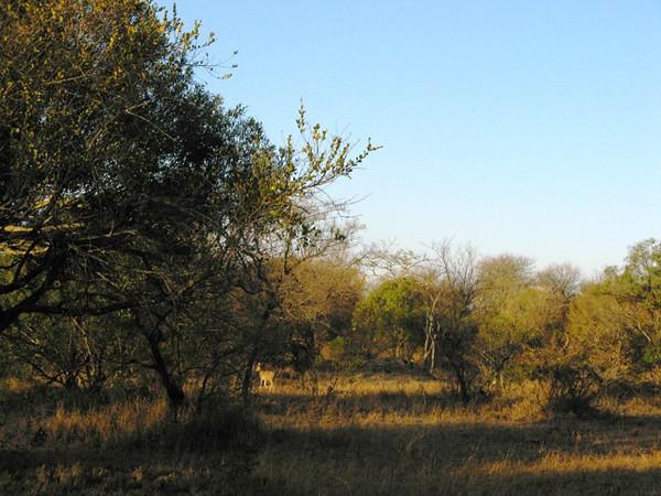 037 Steenbok