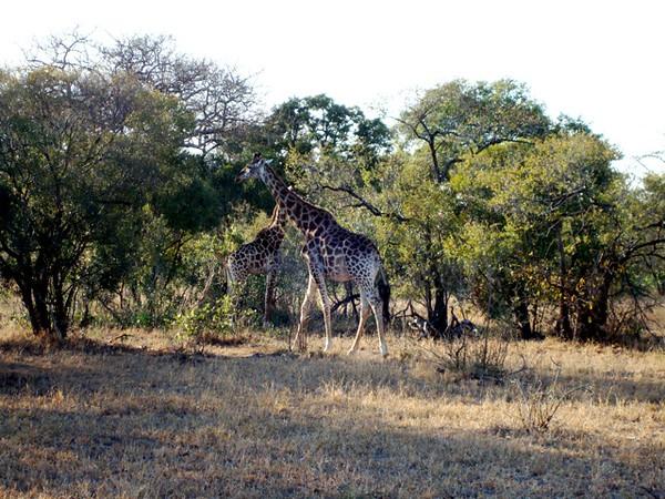 050 Giraffe - McL