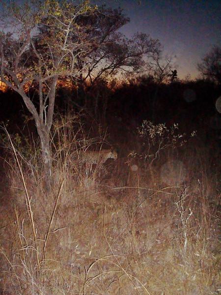 022 Leopard at Night - McLaughlin