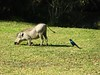 092 Starling Chasing Warthog