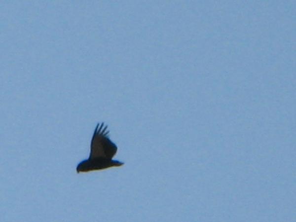 075 Bateleur Eagle 003