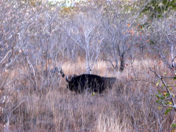 021 Cape Buffalo
