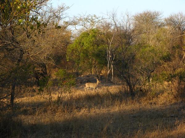 040 Steenbok Posing