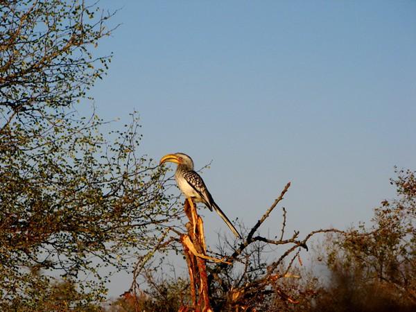 043 Yellow-Billed Hornbill