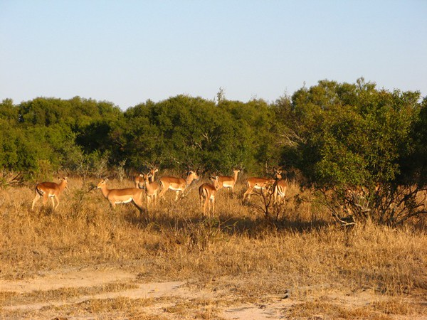 045 Still More Impalas!