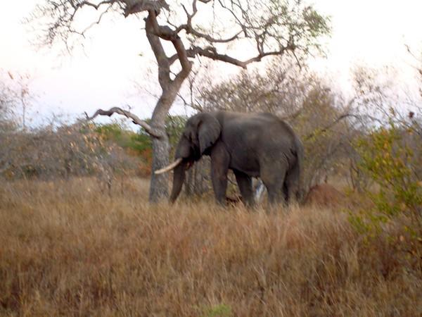 032 Elephant Left - McLaughlin