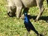 090 Starling and Warthog