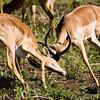 South_Africa_Nyala_Impala_13