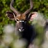 South_Africa_Nyala_Impala_03