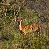 South_Africa_Nyala_Impala_07