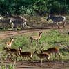 South_Africa_Nyala_Impala_10