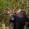 South_Africa_Nyala_Impala_02