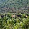 South_Africa_Nyala_Impala_04