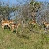South_Africa_Nyala_Impala_08