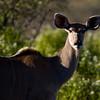 South_Africa_Nyala_Impala_05
