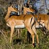 South_Africa_Nyala_Impala_09