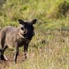 South_Africa_Nyala_Impala_14