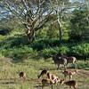 South_Africa_Nyala_Impala_11