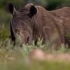 South_Africa_Rhino_09