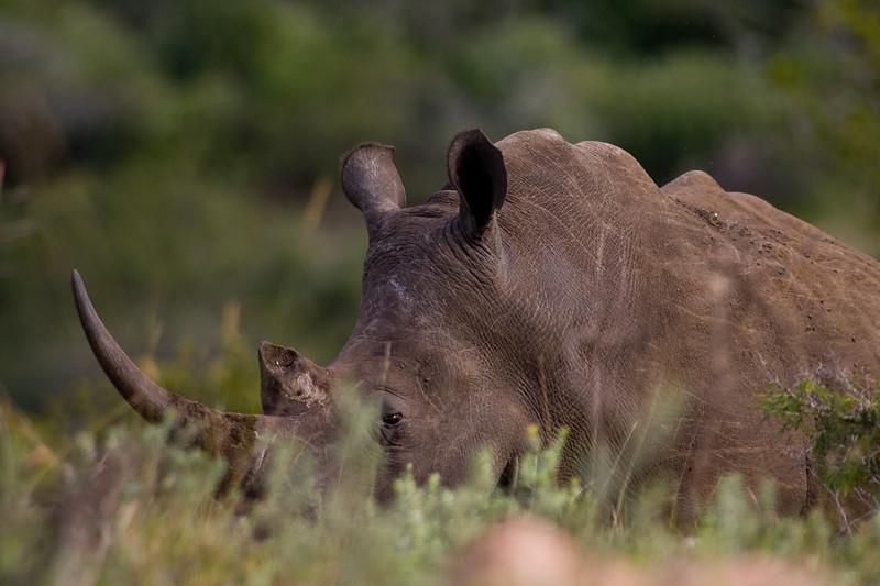 South_Africa_Rhino_08