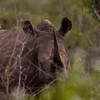 South_Africa_Rhino_10