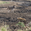 South_Africa_Zebra_04