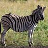 South_Africa_Zebra_06
