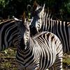 South_Africa_Zebra_01