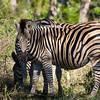 South_Africa_Zebra_02