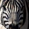 South_Africa_Zebra_03