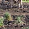 South_Africa_Zebra_05
