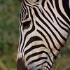 South_Africa_Zebra_07
