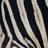 South_Africa_Zebra_08