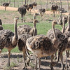 At the ostrich breeding ground.  These are 4 month old chicks.