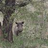 A warthog