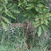 A leopard!  The last of the big five and we got to see it all because it was Lizzie's birthday today.  Thanks Lizzie!