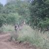 A waterbuck